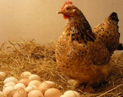 البيضة و الفرخة